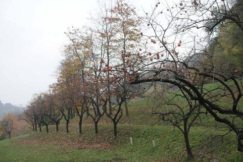 villa ghigi bologna persimmons