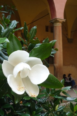 A magnolia in the courtyard of Bologna's music conservatory.